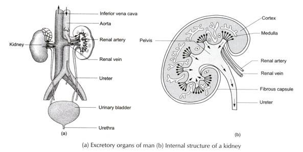 excretion in animals  humans and plants  with diagram