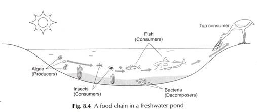 A Food Chain in a Freshwater Pond