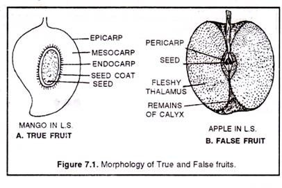 Morphology of true and false fruits