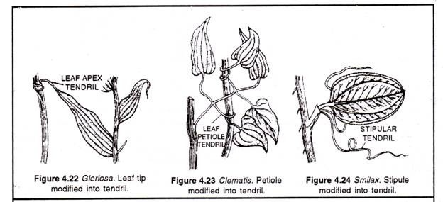Modifications Of Leaves  Explained With Diagram