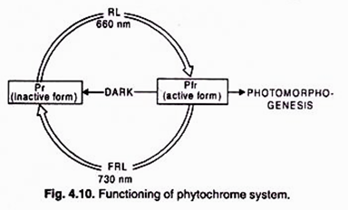 Functioning of phytochrome system