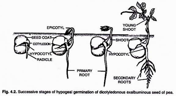 Seed Germination Types  With Diagram