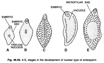 A-E stages in the development of nuclear types of endosperm