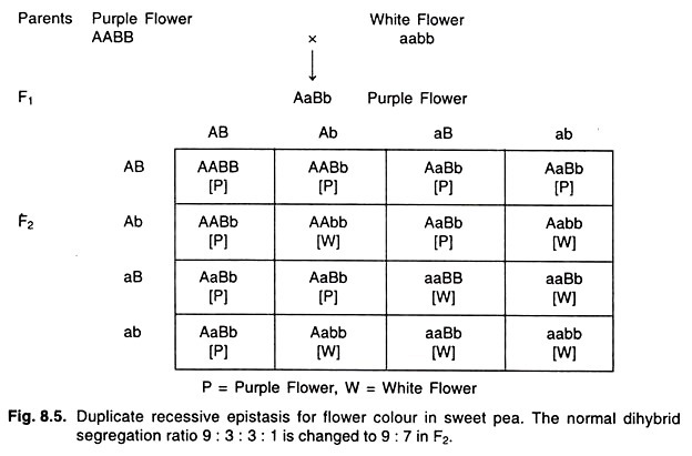 Duolicate recessive epistasis for flower colour in sweet pea