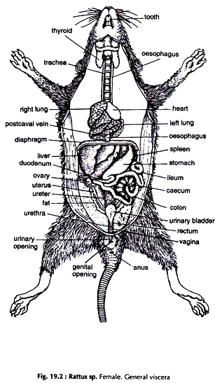 dissection of rat  with diagram